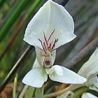 Disa draconis Orchidee - Orchideen Samen