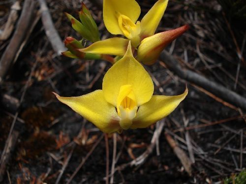 Disa tenuifolia orchid - orchids seeds