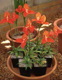 Disa uniflora Pride of Table Mountain seeds