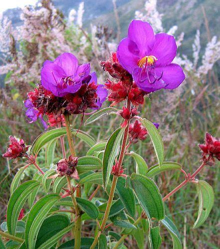 Dissotis princeps purple dissotis seeds