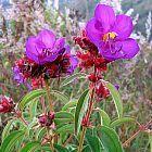 Dissotis princeps Dissotis violet graines