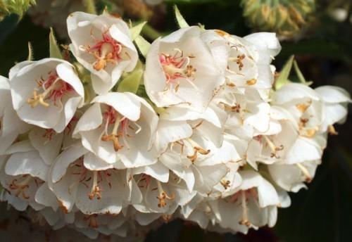 Dombeya cymosa Natal Dombeya seeds