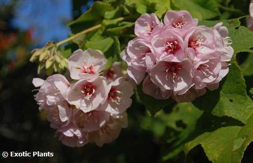 Dombeya pulchra silver white pear seeds