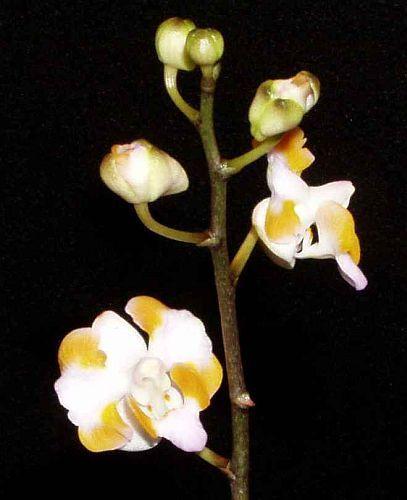 Doritis pulcherrima orchids seeds