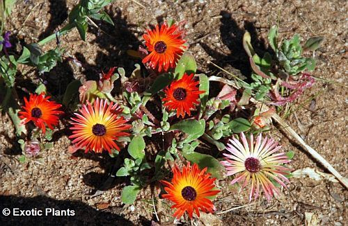 Dorotheanthus bellidiformis succulent seeds