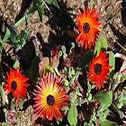 Dorotheanthus bellidiformis planta suculenta semillas