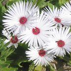 Dorotheanthus maughanii Sukkulente Samen