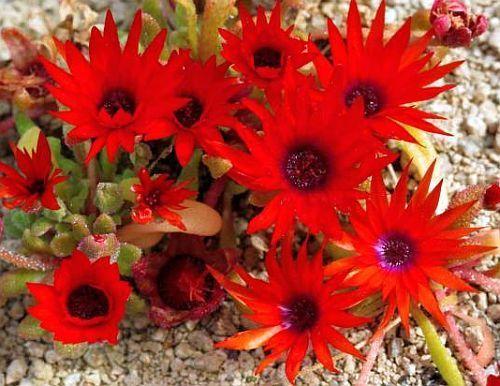 Dorotheanthus rourkei succulent seeds