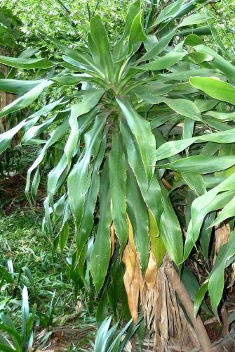 Dracaena aletriformis Large-leaved Dragon Tree seeds