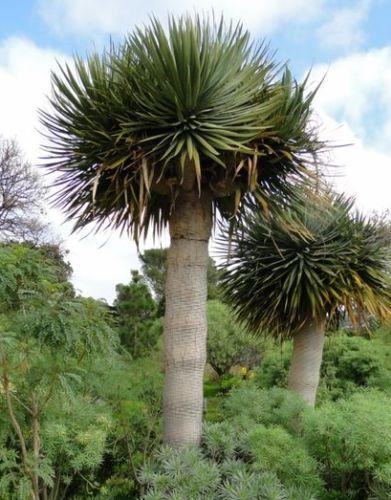 Dracaena draco ssp. draco Canary Islands dragon tree - drago seeds