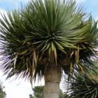 Dracaena draco ssp. draco  cемян