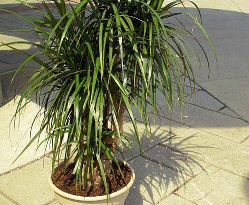 Dracaena marginata dragon tree seeds