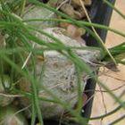 Drimia pusilla syn: Litanthus pusillus Samen