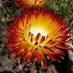 Drosanthemum bicolor, dew flower seeds