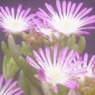Drosanthemum crassum