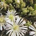 Drosanthemum marinum