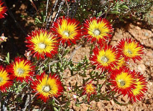 Drosanthemum micans succulent seeds
