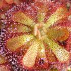 Drosera admirabilis Sonnentau Samen