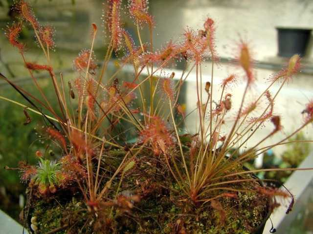 Drosera affinis sundew seeds