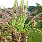 Drosera capensis  cемян