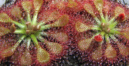 Drosera capillaris Pasco Co. pink sundew seeds
