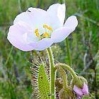 Drosera cistiflora white Sonnentau Samen