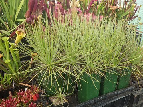Drosophyllum luisitanicum portugaise drosera seeds