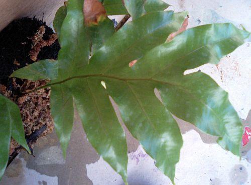 Drynaria sparsisora basket fern seeds