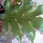 Drynaria sparsisora  cемян