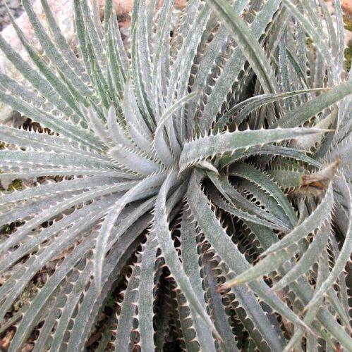 Dyckia sp Chapada Diamantina Bromeliad seeds