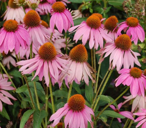 Echinacea purpurea Eastern purple coneflower seeds
