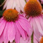 Echinacea purpurea Echinac?e pourpre - Rudbeckie pourpre graines