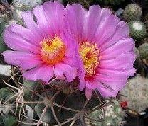 Echinocactus horizonthalonius Devilshead - Turks head cactus - Blue barrel cactus seeds