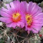 Echinocactus horizonthalonius  semi