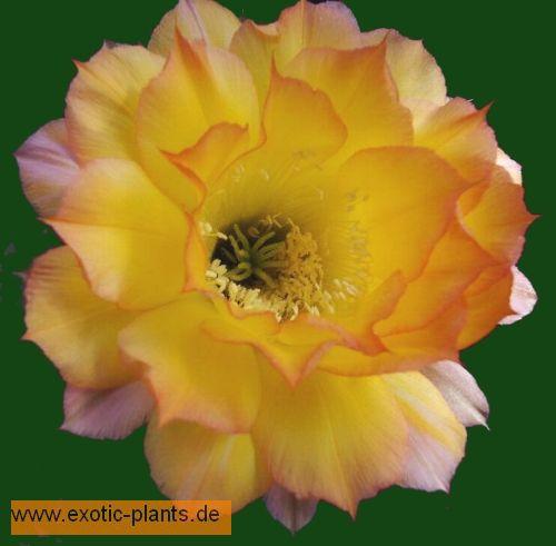 Echinopsis Arabesque syn: Trichocereus ARABESQUE seeds