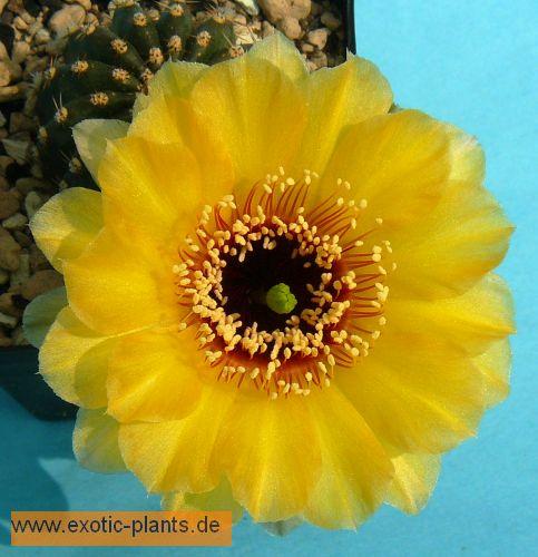 Echinopsis Artemis syn: Trichocereus ARTEMIS seeds
