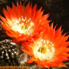 Echinopsis Bonzo syn: Trichocereus BONZO Samen
