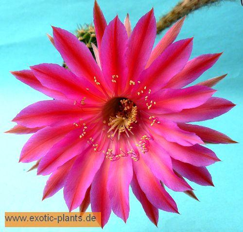 Echinopsis Cabaret syn: Trichocereus CABARET seeds