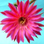 Echinopsis Cabaret  semi