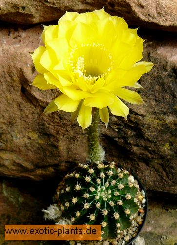 Echinopsis Coquette syn: Trichocereus COQUETTE seeds