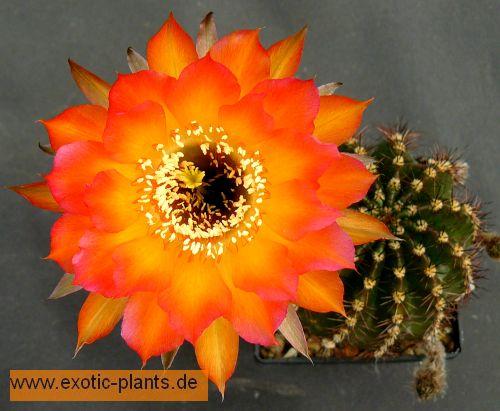 Echinopsis Danse Macabre syn: Trichocereus DANSE MACABRE seeds
