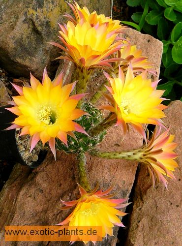 Echinopsis Embraceable You syn: Trichocereus EMBRACEABLE YOU seeds