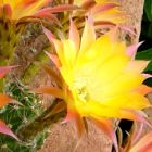 Echinopsis Embraceable You  semillas