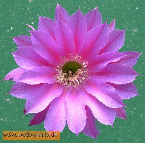 Echinopsis Foxy Lady syn: Trichocereus FOXY LADY seeds