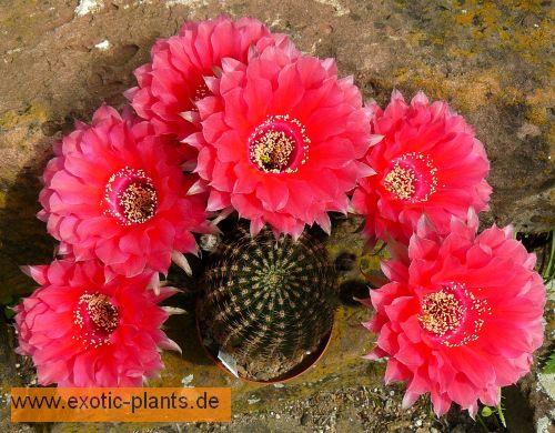 Echinopsis Peace Eros syn: Trichocereus PEACE EROS seeds