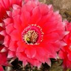 Echinopsis Peace Eros  semillas