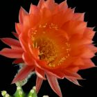 Echinopsis Schick hybrids Echinopsis Schick hybrids X Trichocereus huascha Samen