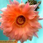 Echinopsis Spring Blush syn: Trichocereus SPRING BLUSH graines