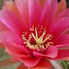 Echinopsis calorubra  semi
