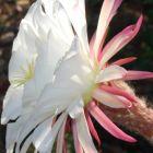 Echinopsis candicans v gladiatus syn: Trichocereus candicans v gladiatus Samen